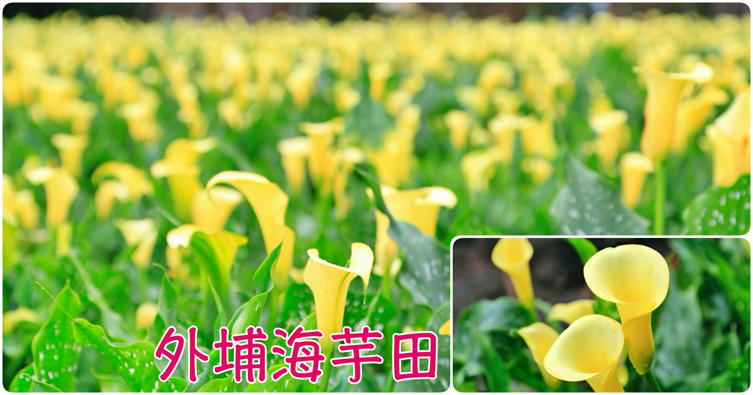 最新推播訊息:[台中旅遊]外埔黃色海芋田 每年3-4月隱藏版賞花處~免門票身處黃色花海裡